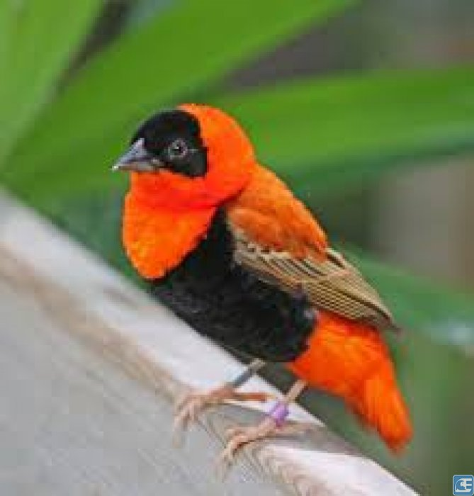 Orange Weaver (Turuncu Çulha)