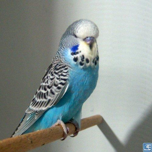 İngiliz Muhabbet Kuşu 214 Zellikleri Ve Bakım Bilgileri