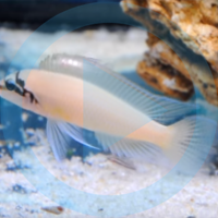 Chalinochromis brichardi Video